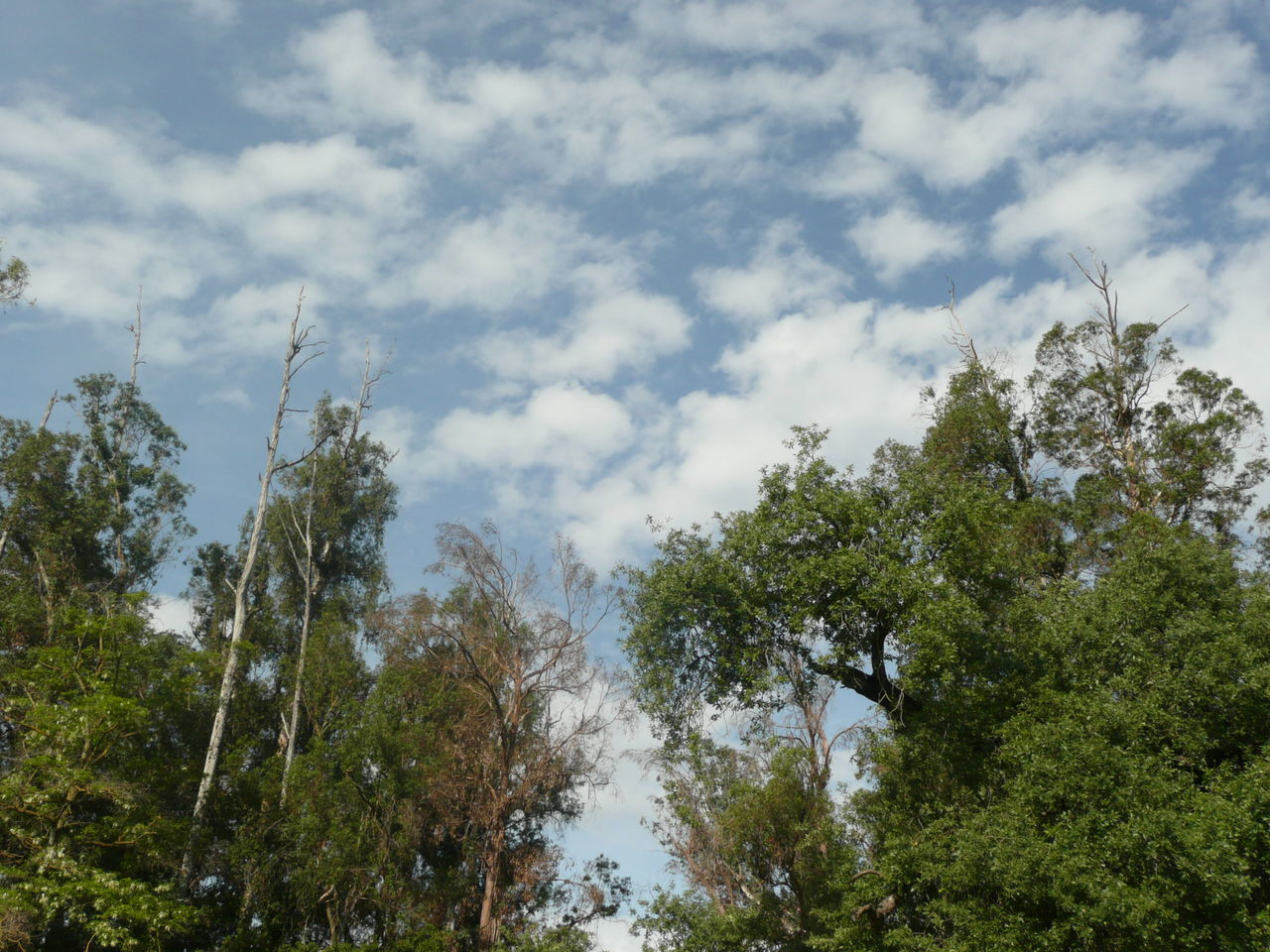 trees by Guadalupe River in San Jose Beauty In Nature Blue Sky Clouds Clouds And Sky Day Environment Eucalyptus Trees Forest Growth High Low Angle View Native Plants Nature No People Outdoors Park San Jose California Scenery Sky The Great Outdoors - 2017 EyeEm Awards Travel Photography Tree Vegetation Weather Weather Photography