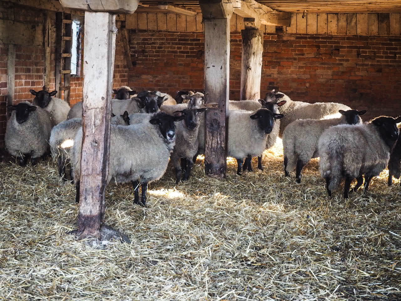 domestic animals, animal themes, livestock, mammal, no people, day, indoors, built structure, large group of animals, grass, nature