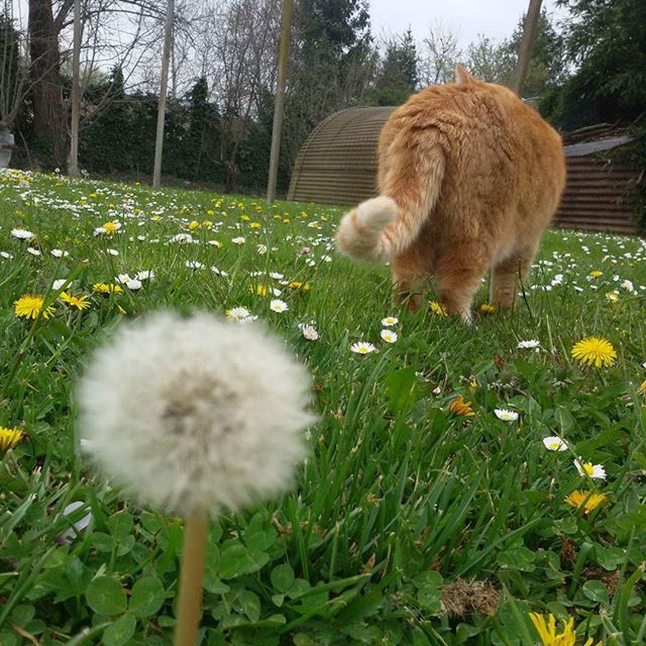 Romeo Latob Soffione Fiori Giardino Cat Maio Meow Gatto Gattone Coda Primavera2016 Spring2016
