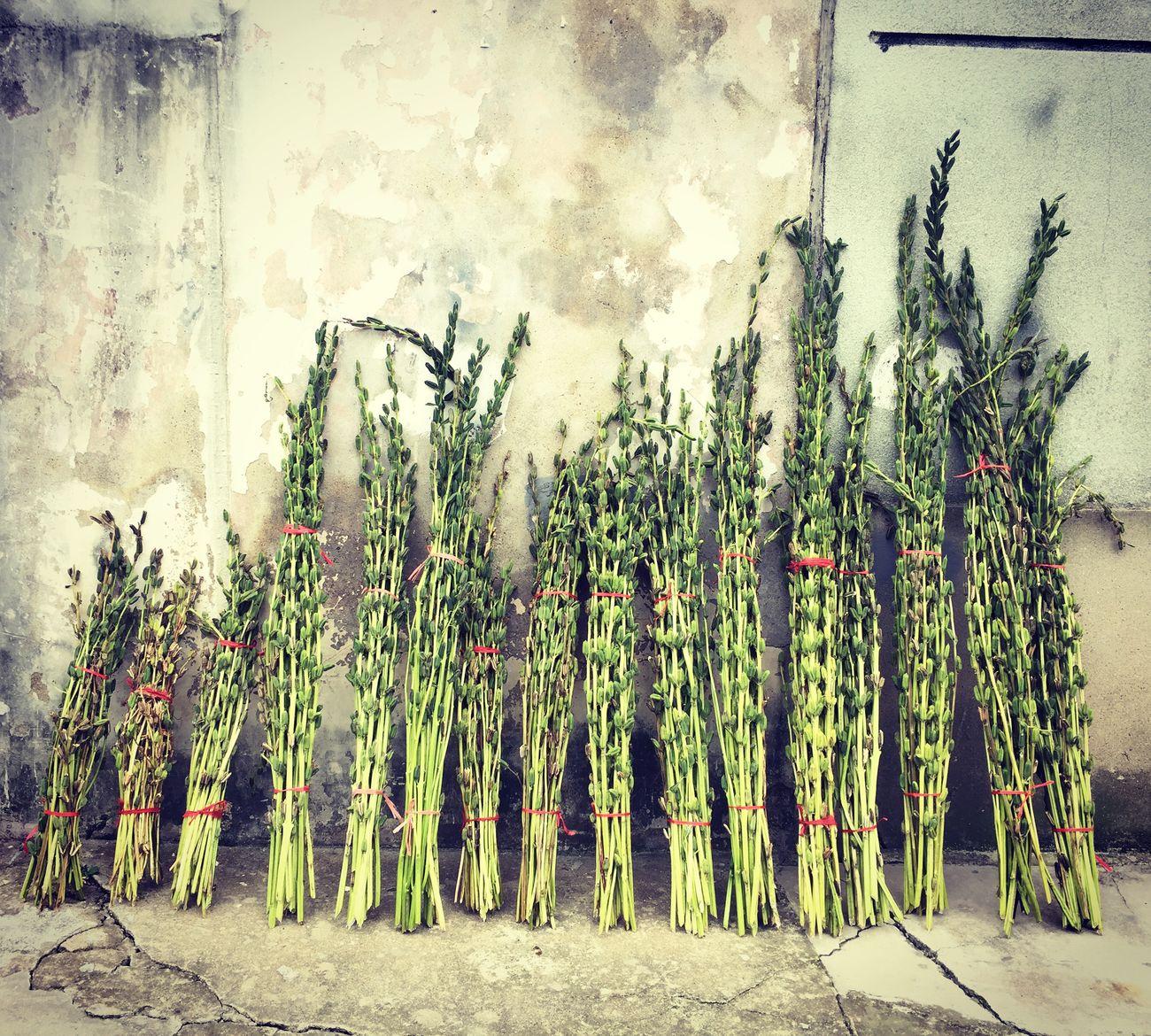 wifi 芝麻 Plants Wifi Sesame