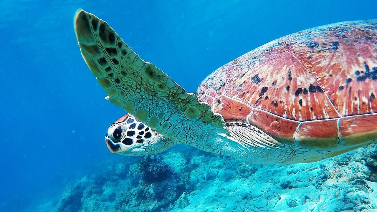 Turtle Underwater Animals In The Wild Sea Turtle UnderSea Animal Themes Animal Wildlife Swimming Sea Life Reptile One Animal Sea Nature Water No People Day Blue Close-up Outdoors Tortoise Shell