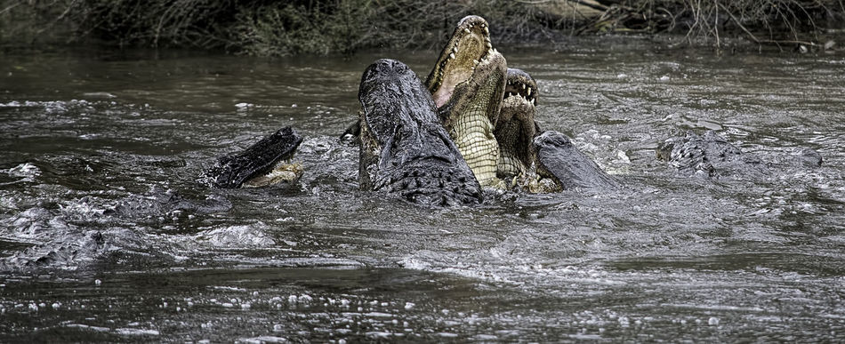 Animal Photography American Alligators at Feeding Time. Alligator Reptiles Repltile Feeding Animals Animals Animal Animal_collection Wildlife Wildlife & Nature