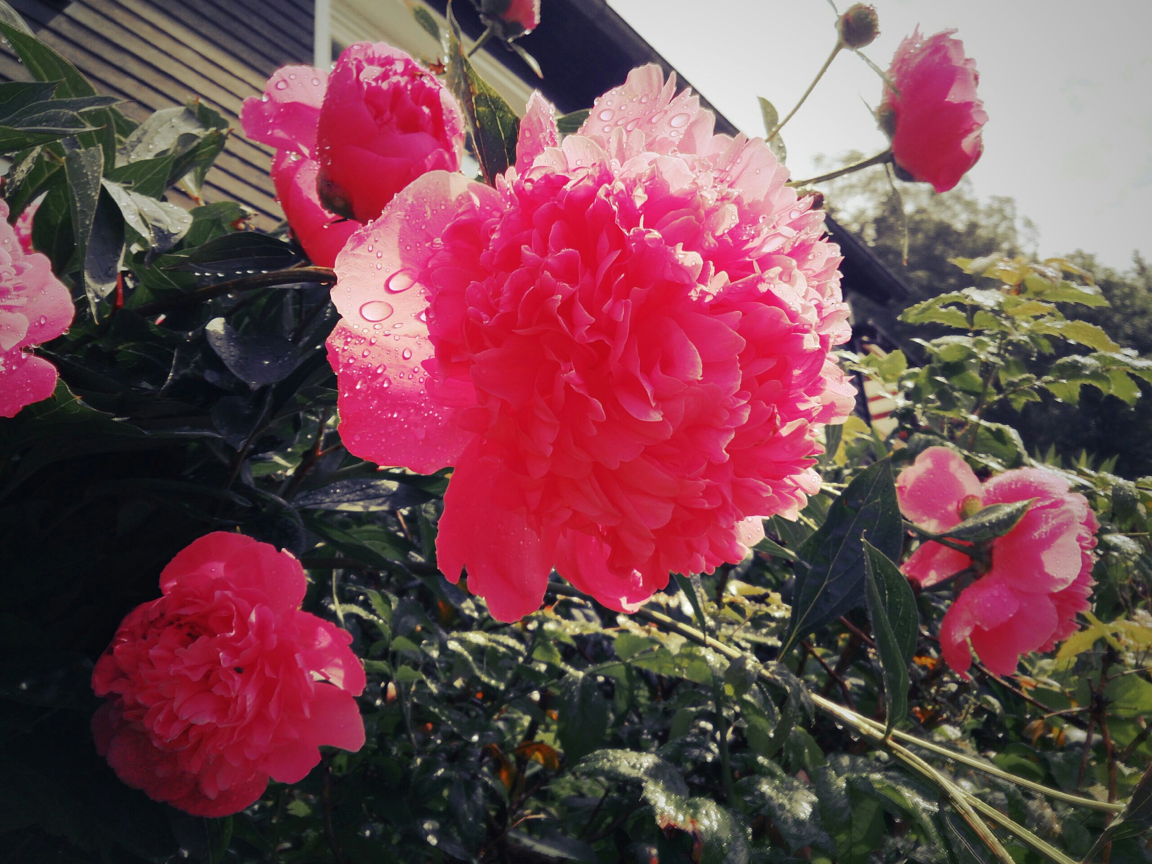 flower, petal, freshness, fragility, flower head, pink color, beauty in nature, growth, blooming, red, plant, nature, rose - flower, close-up, in bloom, pink, day, leaf, outdoors, no people