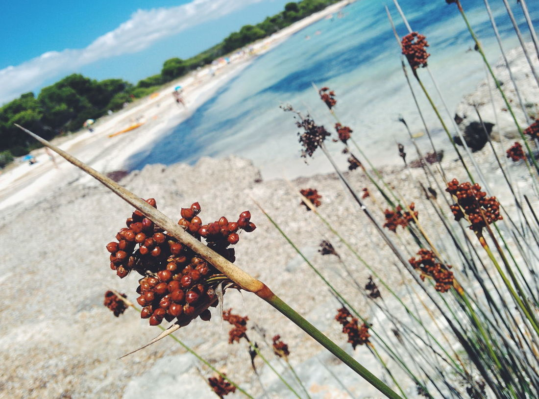 Focus On Foreground Wildflower Beauty In Nature Beach Water Nature Sea Flower Stem Petal Fragility WaterSpain ✈️🇪🇸 Minorca Beach Minorca Island Balearislands Summer ☀ Beach Flower Stem Beauty In Nature Nature Focus On Foreground Plant Day