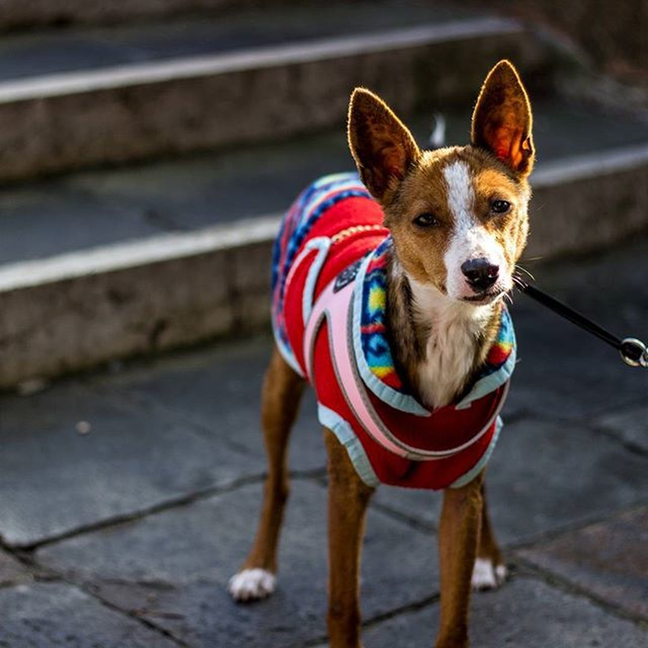 This handsome little poser stopped for a photo along the Venice Harbour boardwalk. POTD Ryce Venice Dog Dogswearingcoats Italy