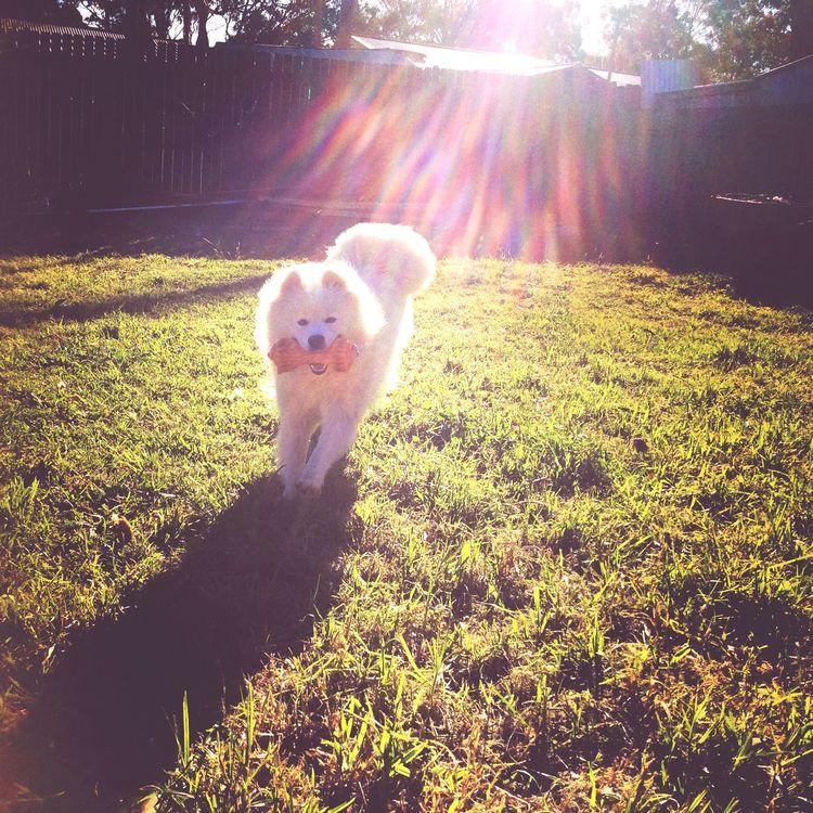 Snowie my baby White Pet Samoyed Cute♡ Puppy Love My Puppy ❤