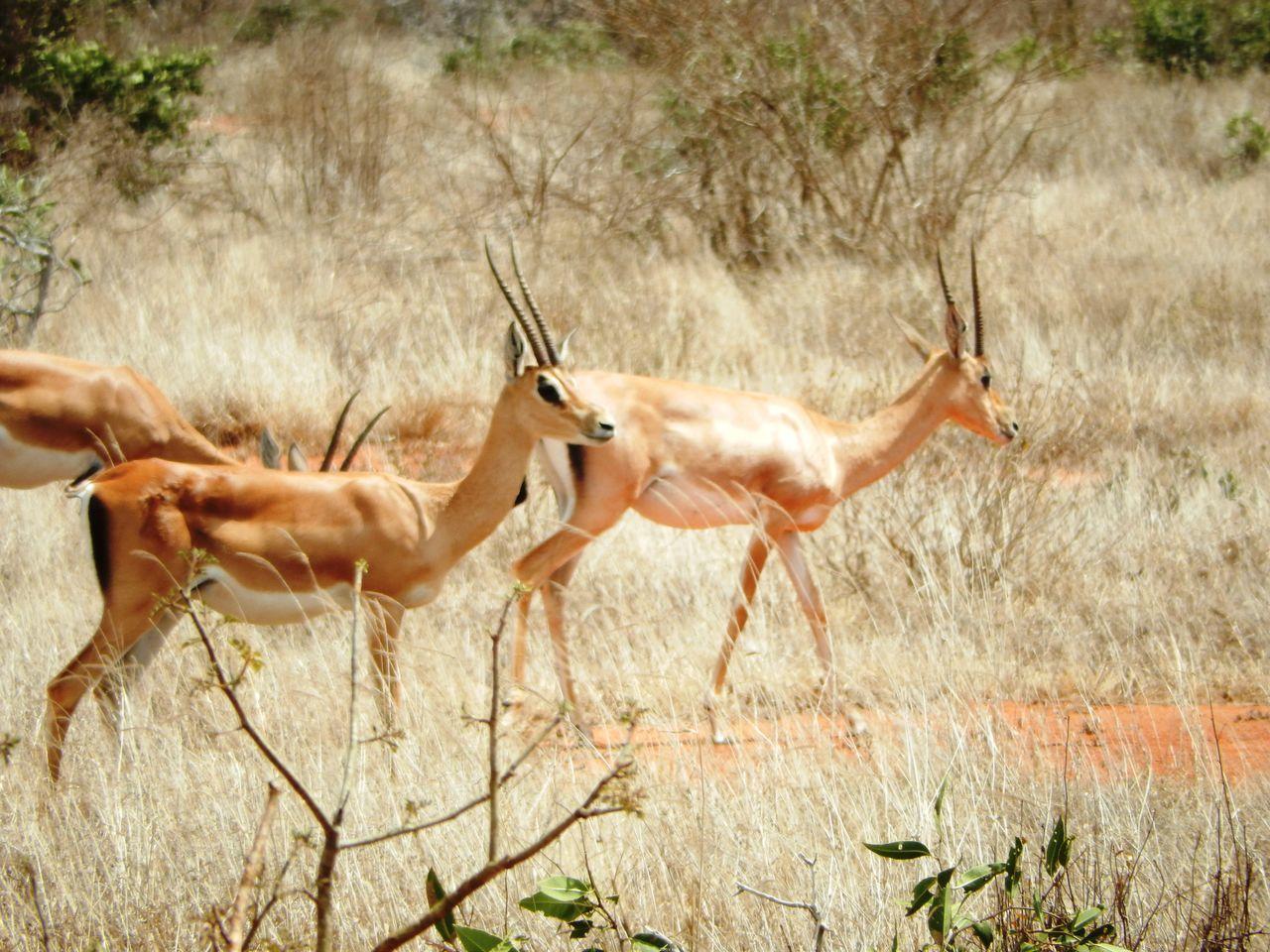 Africa Animal Themes Antilope Kenya Nationalpark Nature Safari Travel Travel Destinations Tsavo
