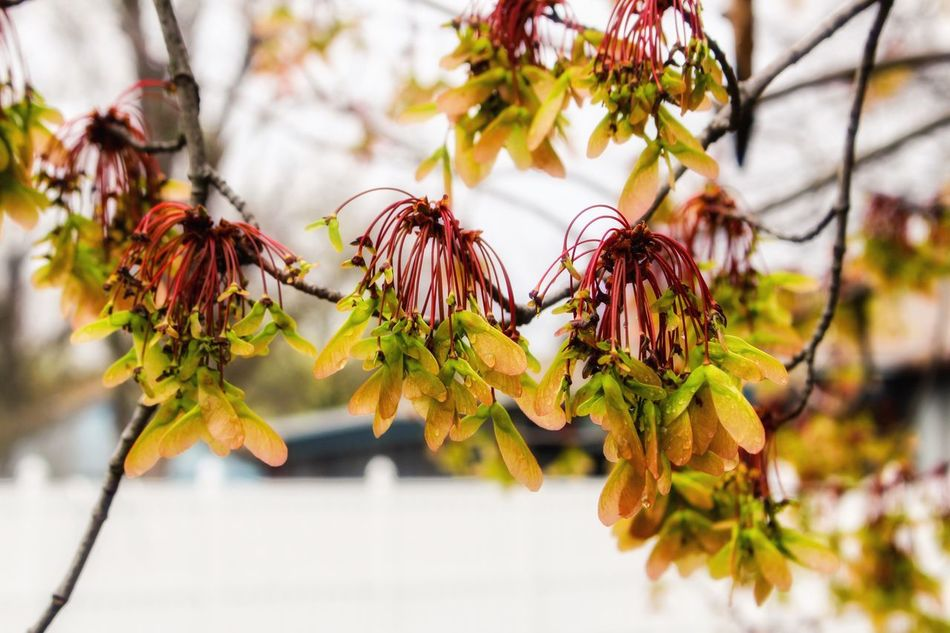 Close-up Focus On Foreground Growth Nature Plant Leaf No People Branch Hanging Outdoors Beauty In Nature Fruit Day Freshness Tree Flower Head Rainy Day Photography Rainy Days☔ Rainy Season Treetastic Springtime Tree Flower Collection Flower Photography Flowerpower