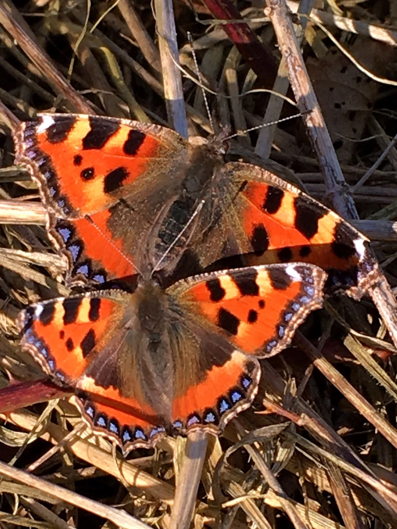 Small Tortoiseshell Butterflies Sunbathing Lepidoptera Insects  Entomology Nature Close-up No People Outdoors Day Beauty In Nature Wildlife Animal Themes Animals In The Wild