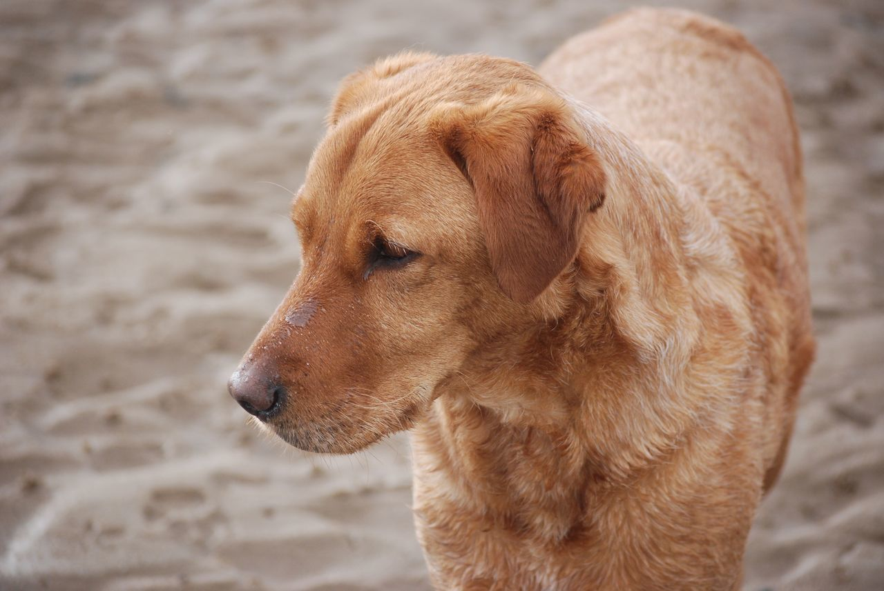 One Animal Sand Mammal Dog Close-up Focus On Foreground Domestic Animals Animal Themes No People Beach Pets Outdoors Day Nature Red Lab Labrador Retriever