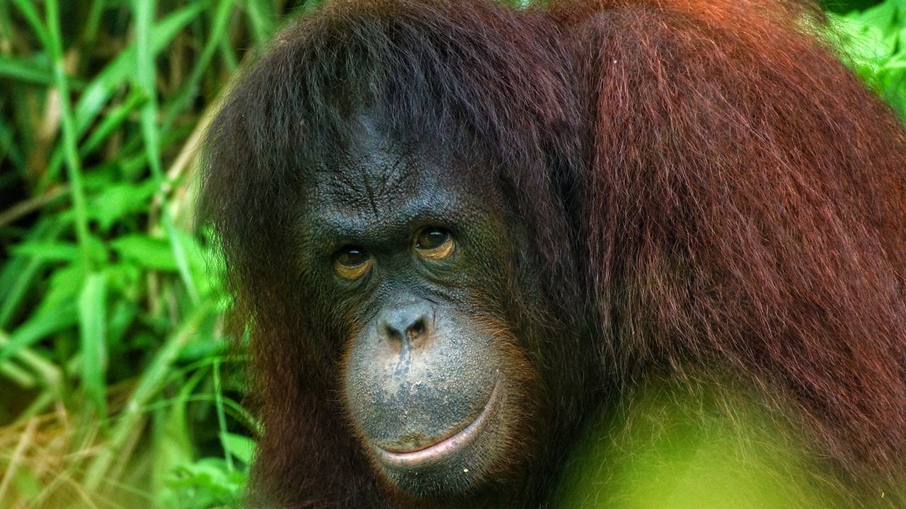 One Animal Animals In The Wild Ape Primate Animal Wildlife Mammal Nature Animal Endangered Species Green Color Portrait Outdoors Orangutan Forest Animal Themes No People Gorilla Day Close-up Beauty In Nature Borneo Bornean Orang Utan Bornean Orangutan