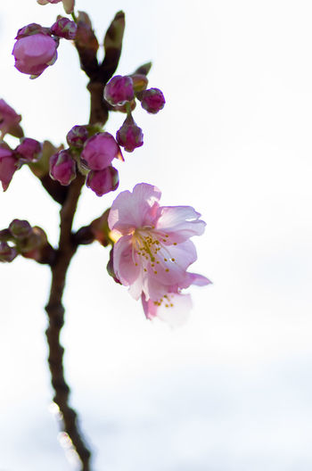 Apple Blossom Beauty In Nature Blooming Blossom Botany Branch Close-up Day Flower Flower Head Focus On Foreground Fragility Freshness Growth Nature No People Outdoors Petal Pink Color Plum Blossom Sky Springtime Tree Twig White Background