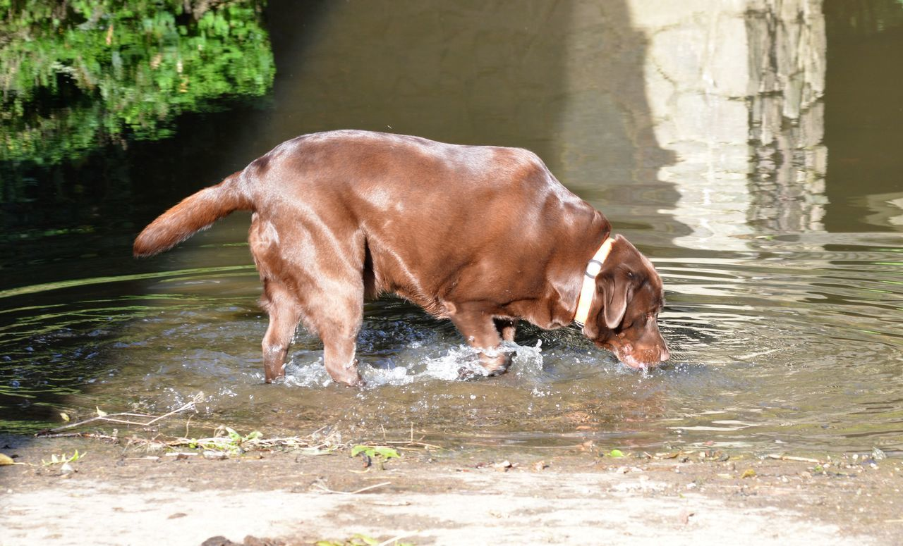 dog, domestic animals, one animal, water, animal themes, mammal, pets, waterfront, outdoors, day, no people, nature, weimaraner
