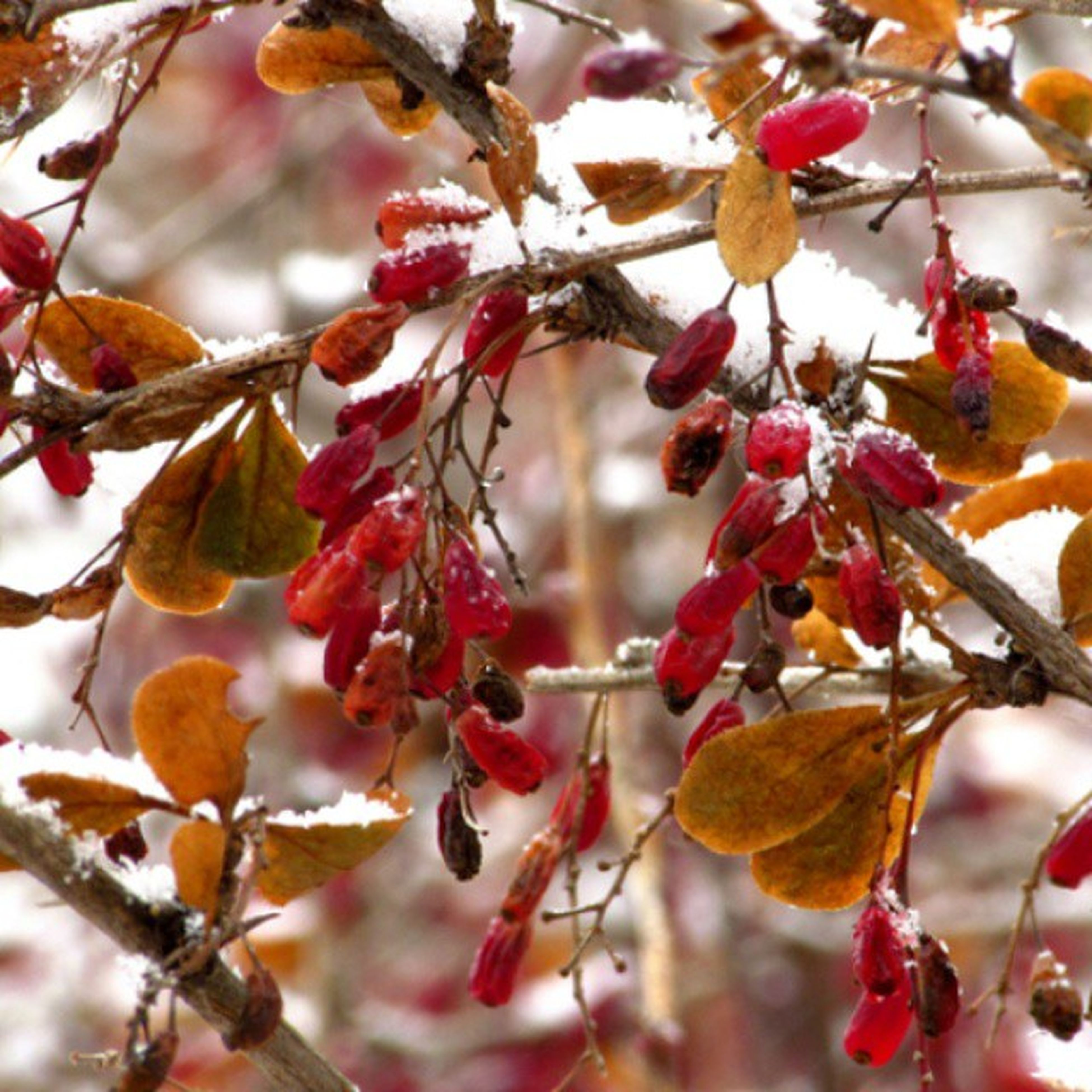 branch, red, tree, fruit, growth, leaf, twig, season, focus on foreground, nature, close-up, freshness, berry, berry fruit, beauty in nature, autumn, cherry tree, change, day, cherry