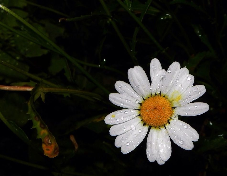 What Does Peace Look Like To You? Rain hitting a daisy. Flower Rain Flash