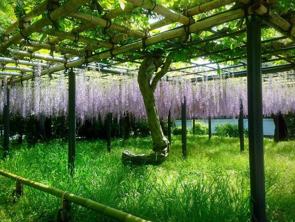 Kyoto Japan Byodo-In Temple Wisteria Flower Uji 京都 日本 平等院鳳凰堂 フジ 宇治