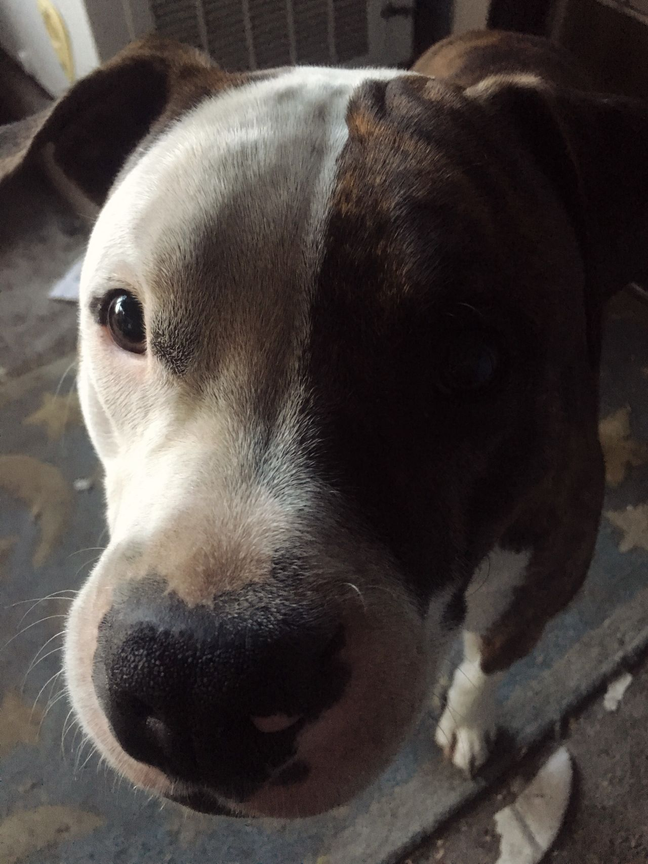 JAX Pit Bulls Dogs Being Dogs...... Pets Pets Of Eyeem Puppy I Love Pitbulls Stop Breed Discrimination Adopt Emotional One Of My Favorite Things Mans Best Friend EyeEm Doglife Dog Pit Pitbulllove