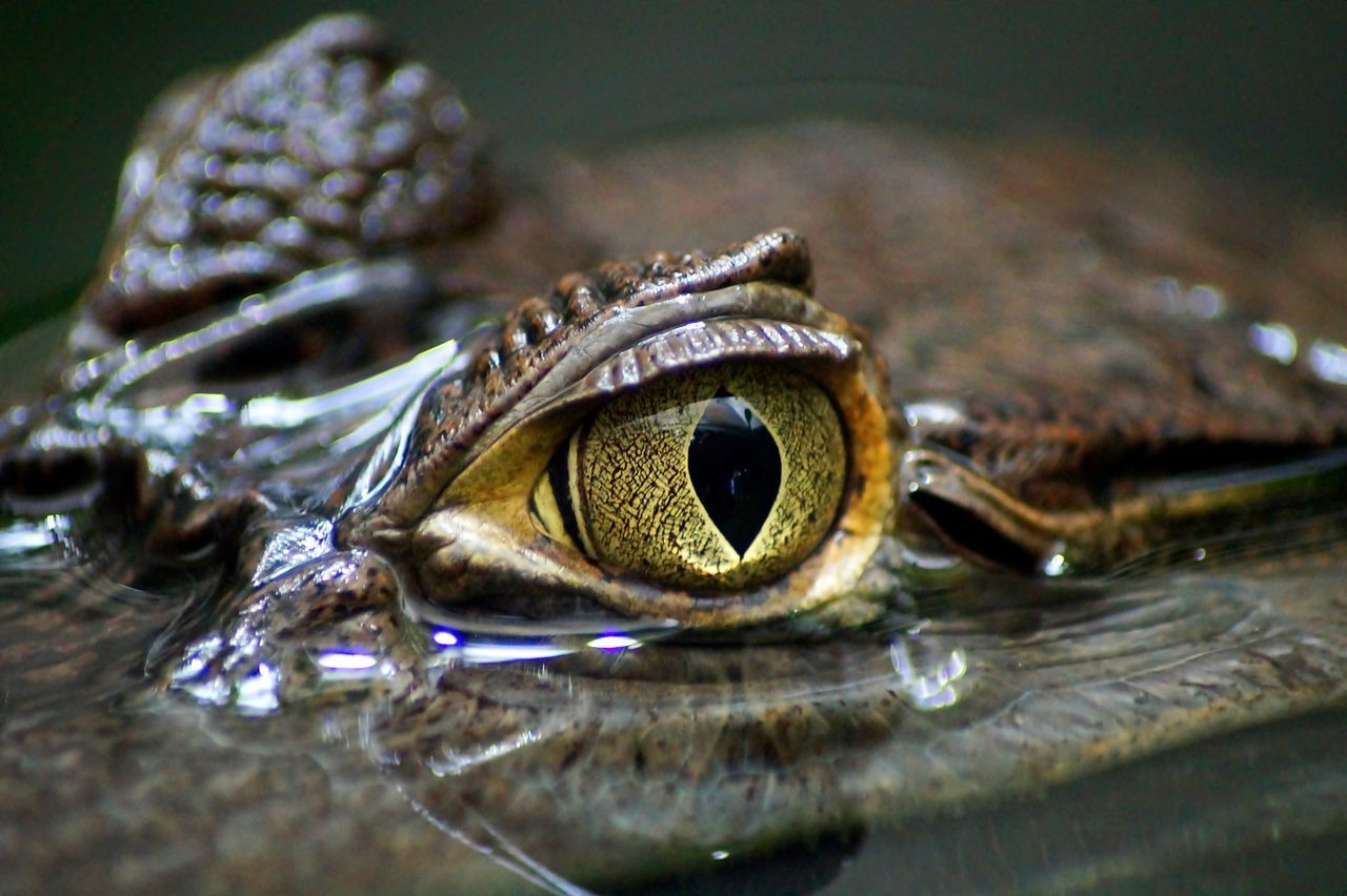 Beautiful stock photos of crocodile, Animal Eye, Animal Themes, Animal Wildlife, Animals In The Wild