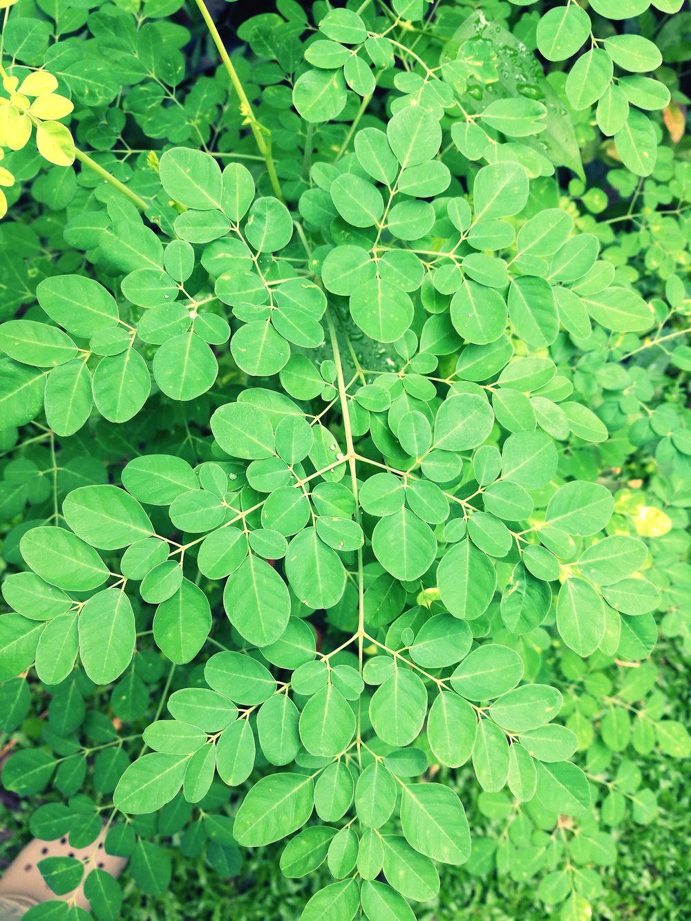 Leaf Green Color Plant Growth Moringa Tree Moringa