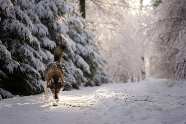Forest Free Husky Husky Siberian Husky Snow Snowy Forest Wild Wild Wolf Winter Wintertime Wolf
