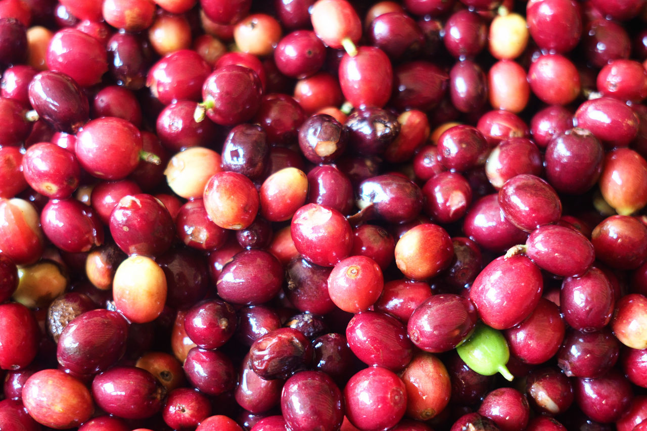 Abundance Backgrounds Cherries City Close-up Coffee Coffee Beans Coffee Cherries Coffee Plantation Day Fair Trade Farm Food Food And Drink Freshness Freshness Fruit Full Frame Healthy Eating Large Group Of Objects No People Organic Red Travel Photography