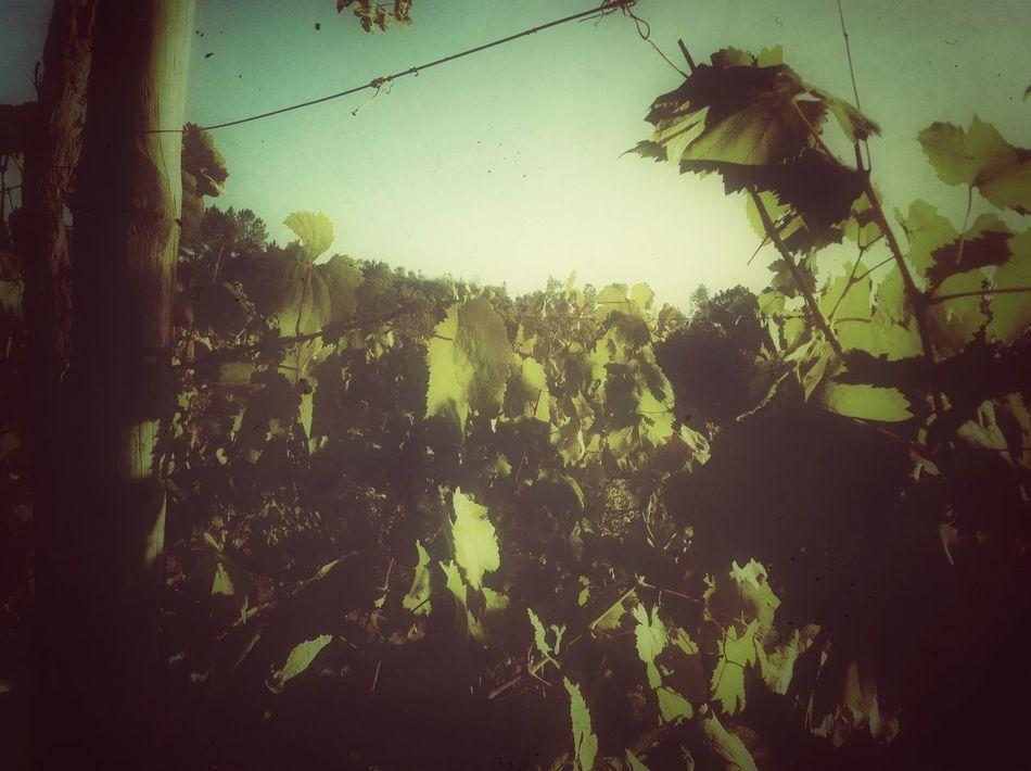 Wine Vinyard Chilling Autumn Colors Eyeemporto