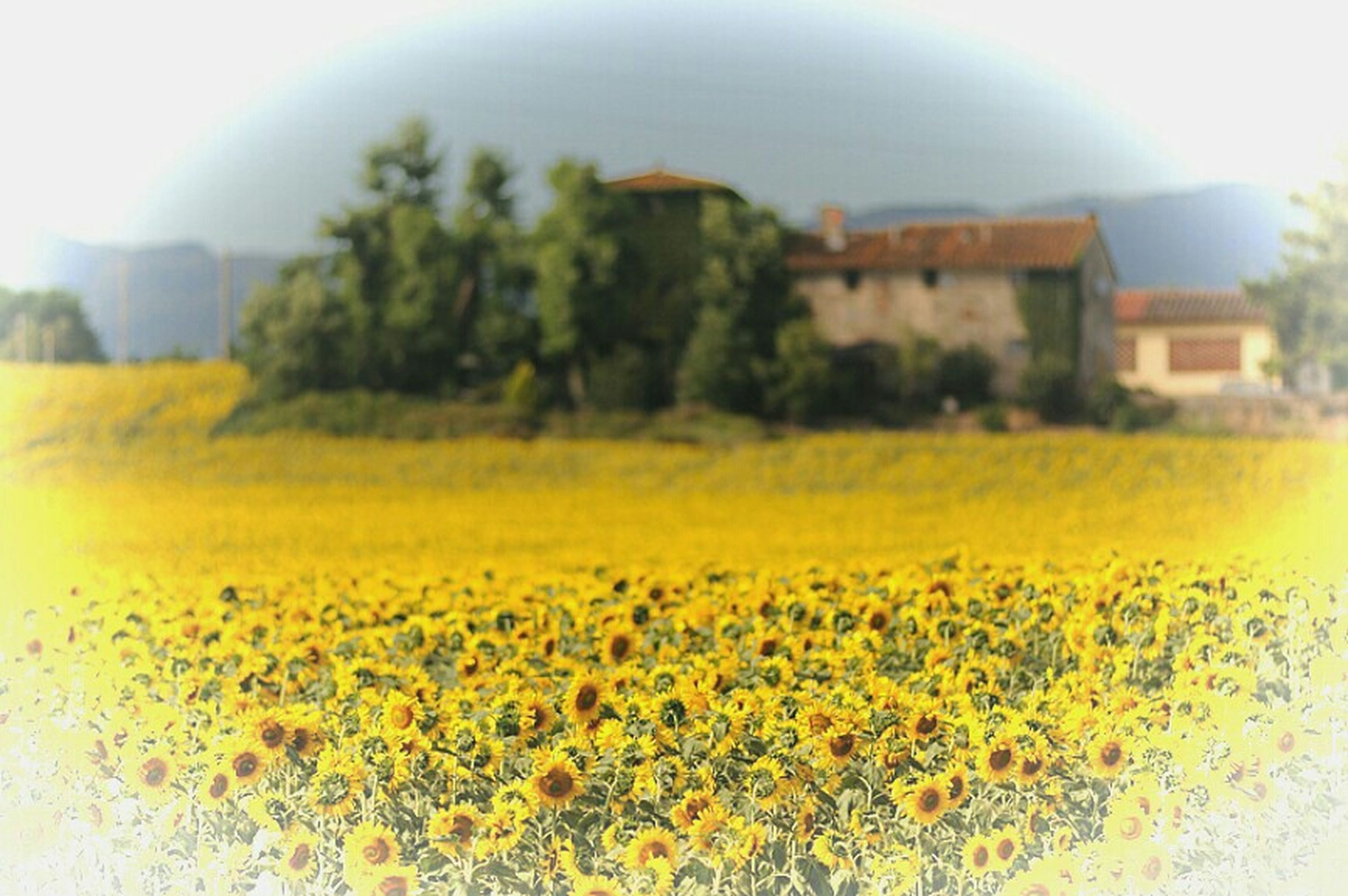 yellow, flower, growth, freshness, building exterior, fragility, built structure, plant, architecture, beauty in nature, nature, sunlight, sky, field, blooming, house, focus on foreground, petal, outdoors, day