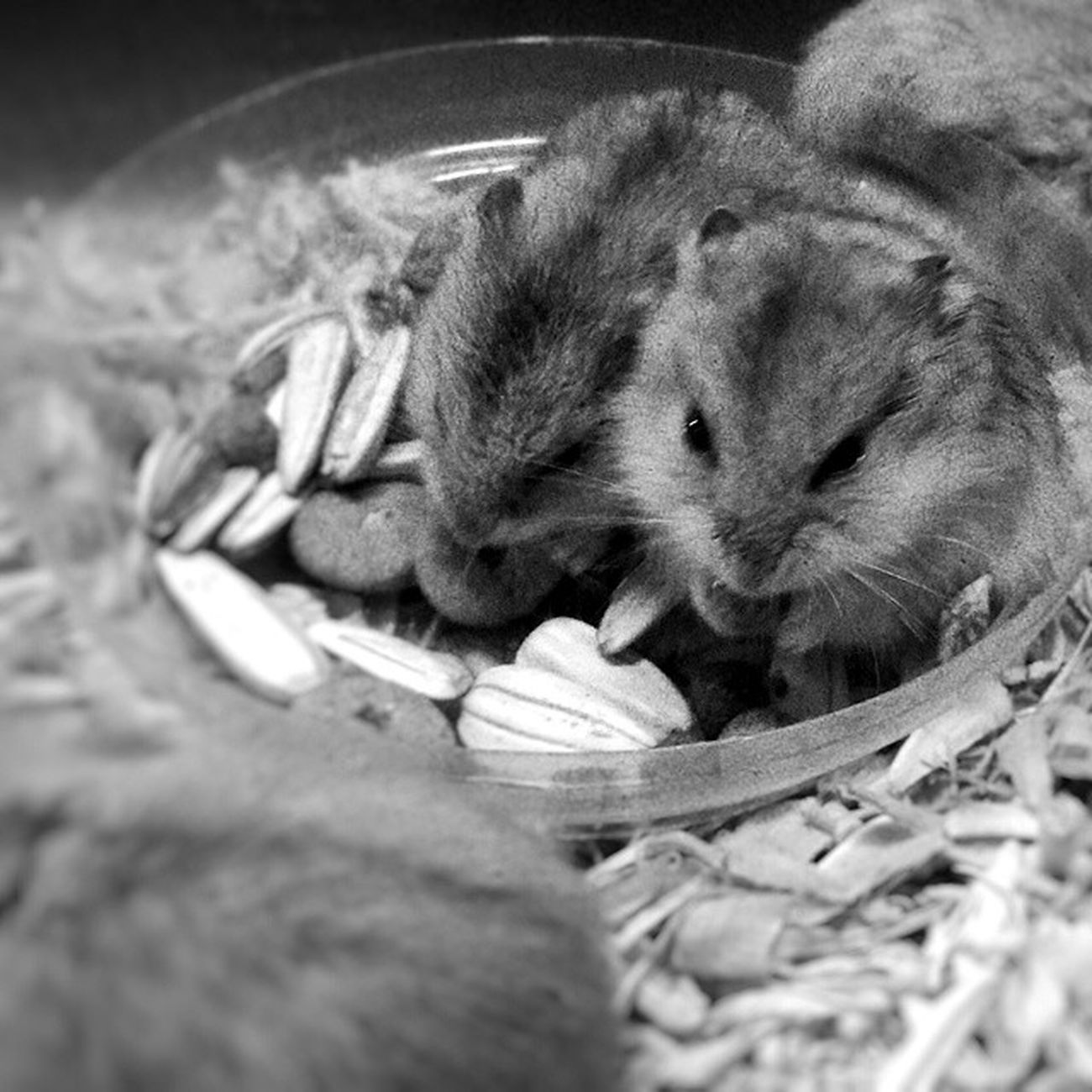 They're as big as your thumb. Morning Morningactivity POTD Thursday breakfast seeds nuts hamster hamsters babyhamsters babyanimals pet fluffy blackandwhite blackandwhitephotography colorless world_bnw bw_awards insta_bw bnw_planet ae_bnw bnw bnw_society bwstyles_gf bnw_diamond bnw_life rsa_bnw