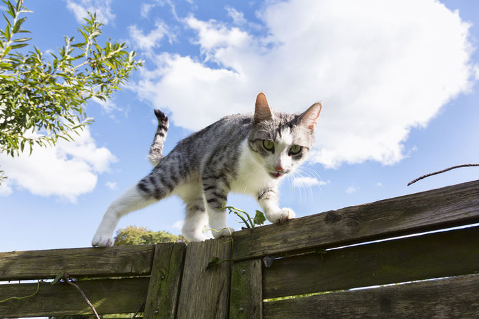 Tabby cat walking on wooden fence Pet Portraits Animal Themes Cloud - Sky Day Domestic Animals Domestic Cat Feline Fluffy Clouds Low Angle View Mammal Nature No People One Animal Outdoors Pets Portrait Sky Walking Wood - Material