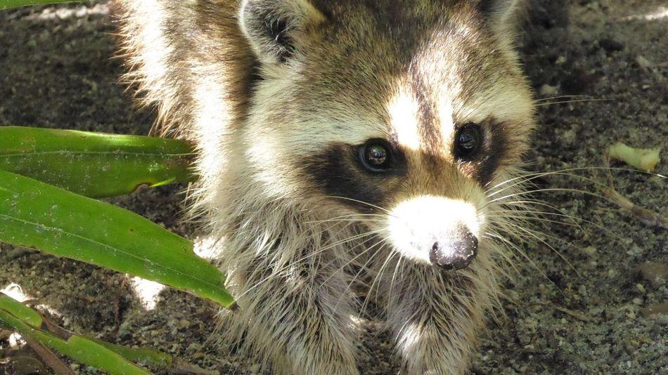 Beautiful stock photos of raccoon, Animal Themes, Animal Wildlife, Animals In The Wild, Day