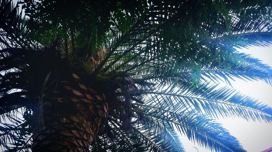 Palm Trees Bluehills