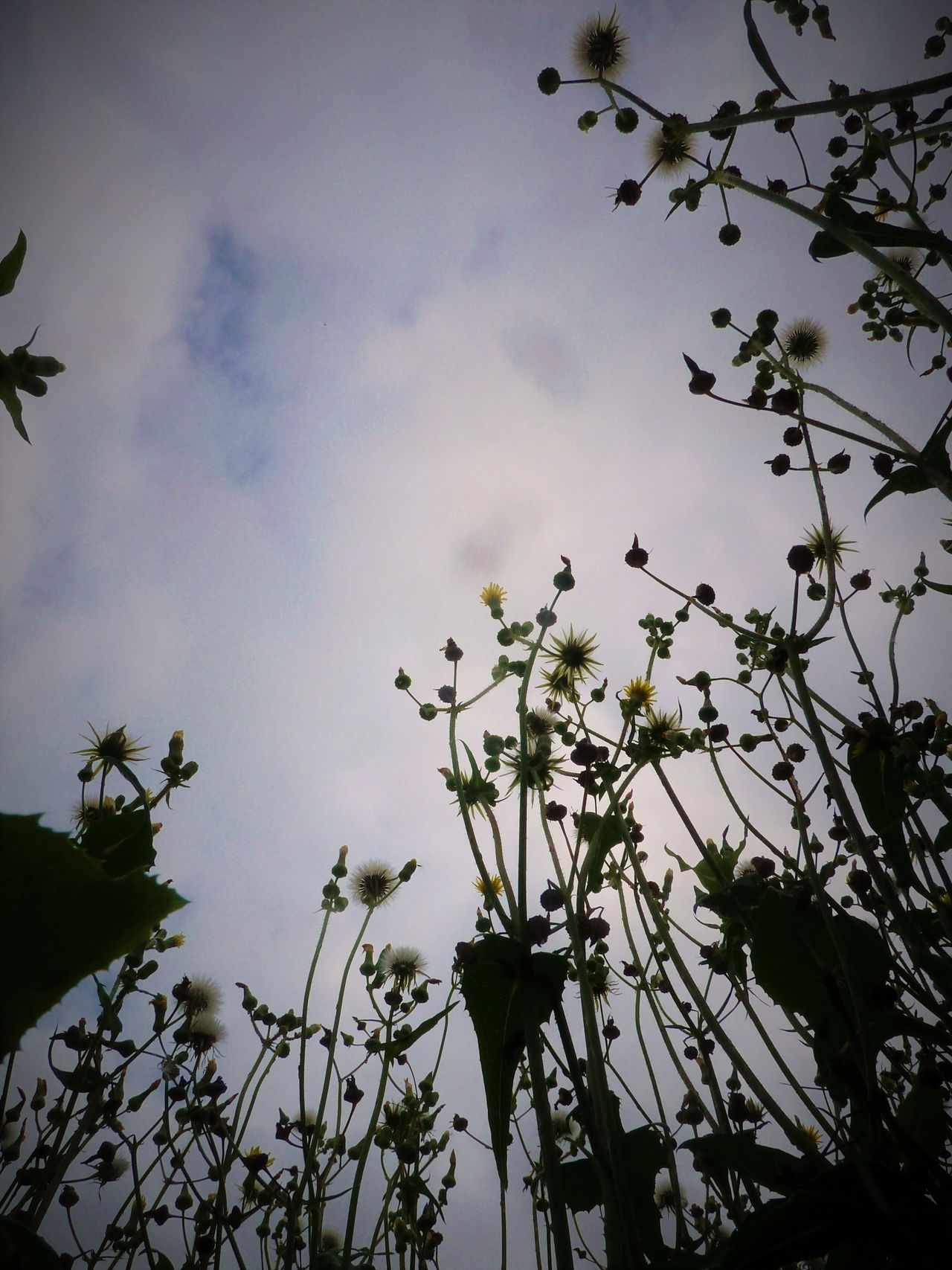 dandelions in the wind Beauty In Nature Blowing In The Wind... Botanical Dandelion Day Delicate Beauty Fine Flowerhead Fluffy Fragility Growth Leaves Life Cycle Flowers Light And Shadow Nature Overgrown Garden Plant Seeds Flower Sky And Clouds Soft Stem Stems Weed