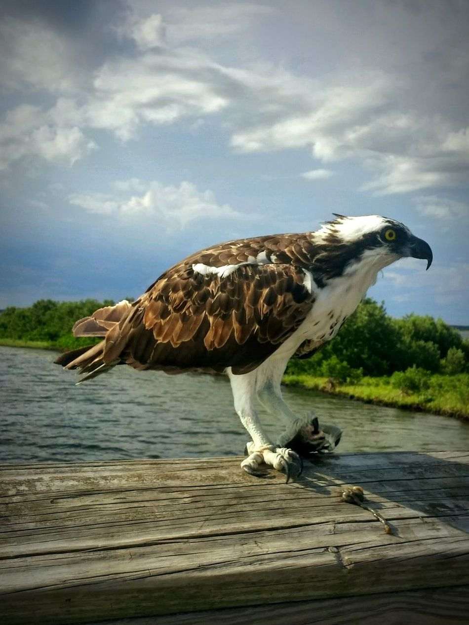 Hawk Predator Predatory Predator And Prey Dinnertime Dinner Gulfcoast Fishing Fish Foodchain