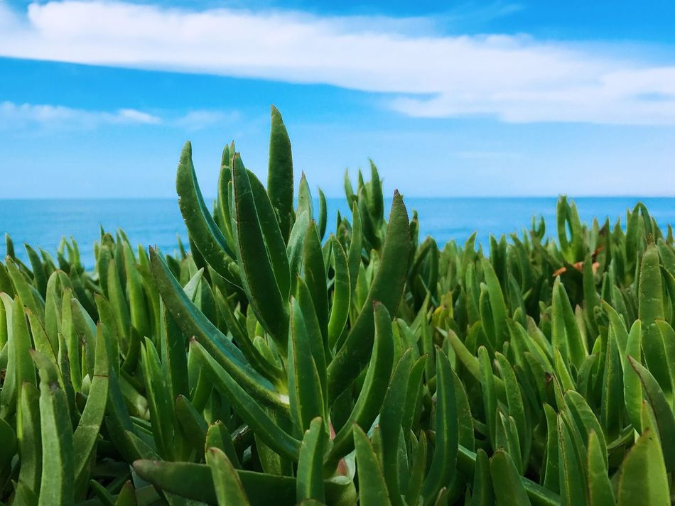 Growth Nature Sky Sea Plant Green Color No People Water Beauty In Nature Day Tranquility Outdoors Succulent Plant Leaf Scenics Horizon Over Water Tranquil Scene Close-up Agriculture