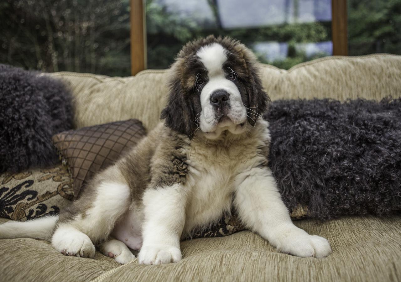 Beautiful stock photos of welpen, Animal Themes, Cushion, Day, Dog