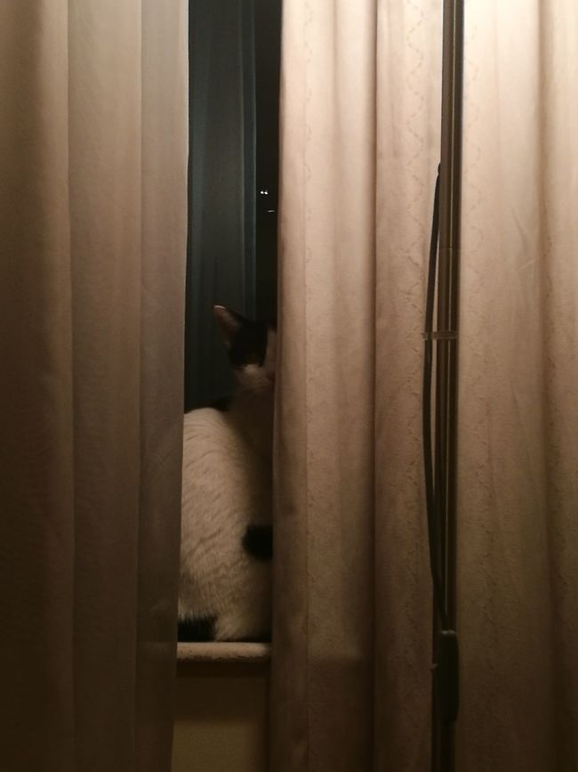 Where is the cat? One Animal Domestic Animals Cat Feline Peeking Curiosity Curtain Hiding Animal Head  Animal Themes Cat Lovers Cats Of EyeEm Pets Where Are You?