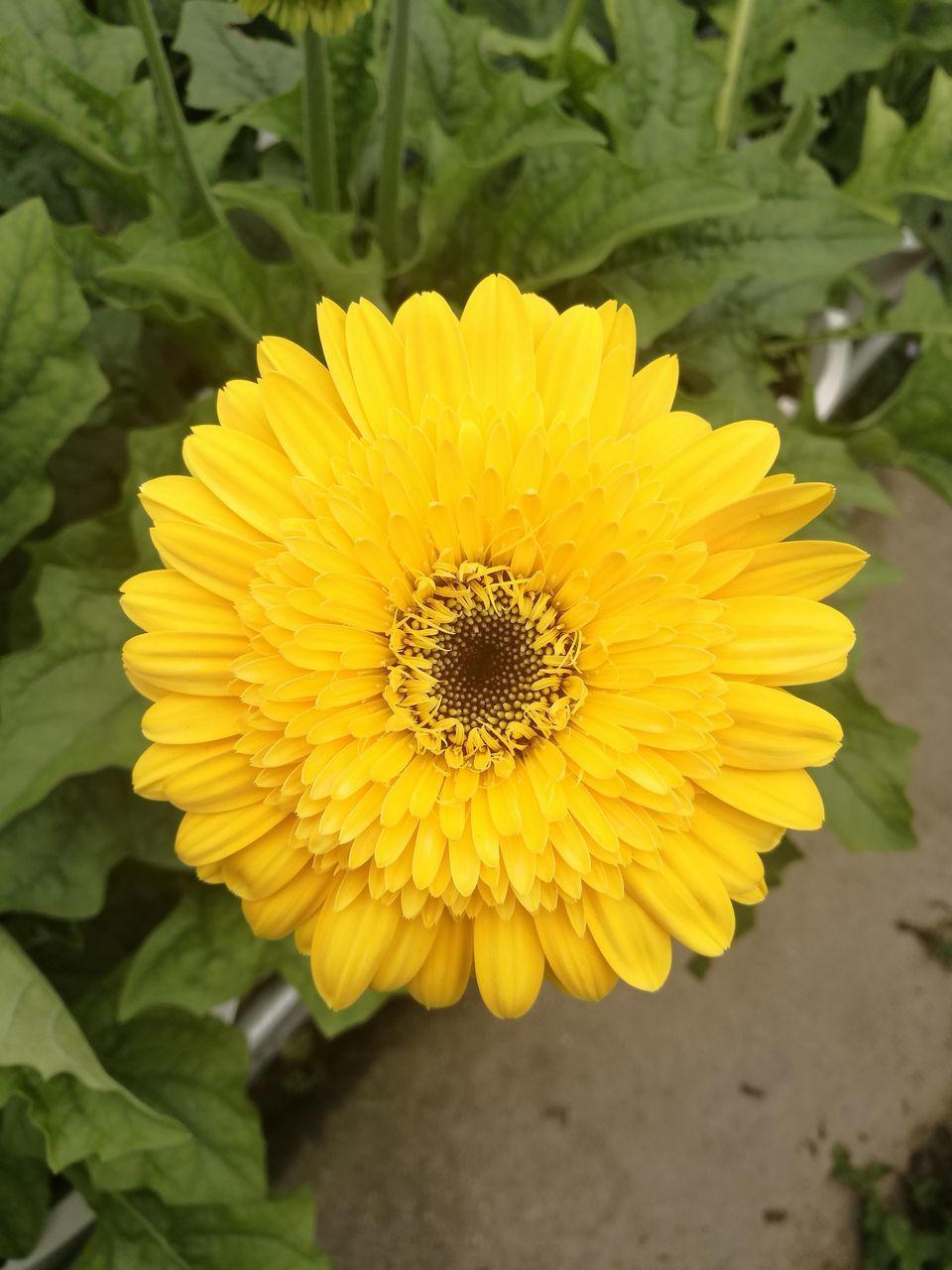 flower, yellow, nature, petal, fragility, beauty in nature, growth, flower head, plant, freshness, close-up, outdoors, no people, day, sunflower