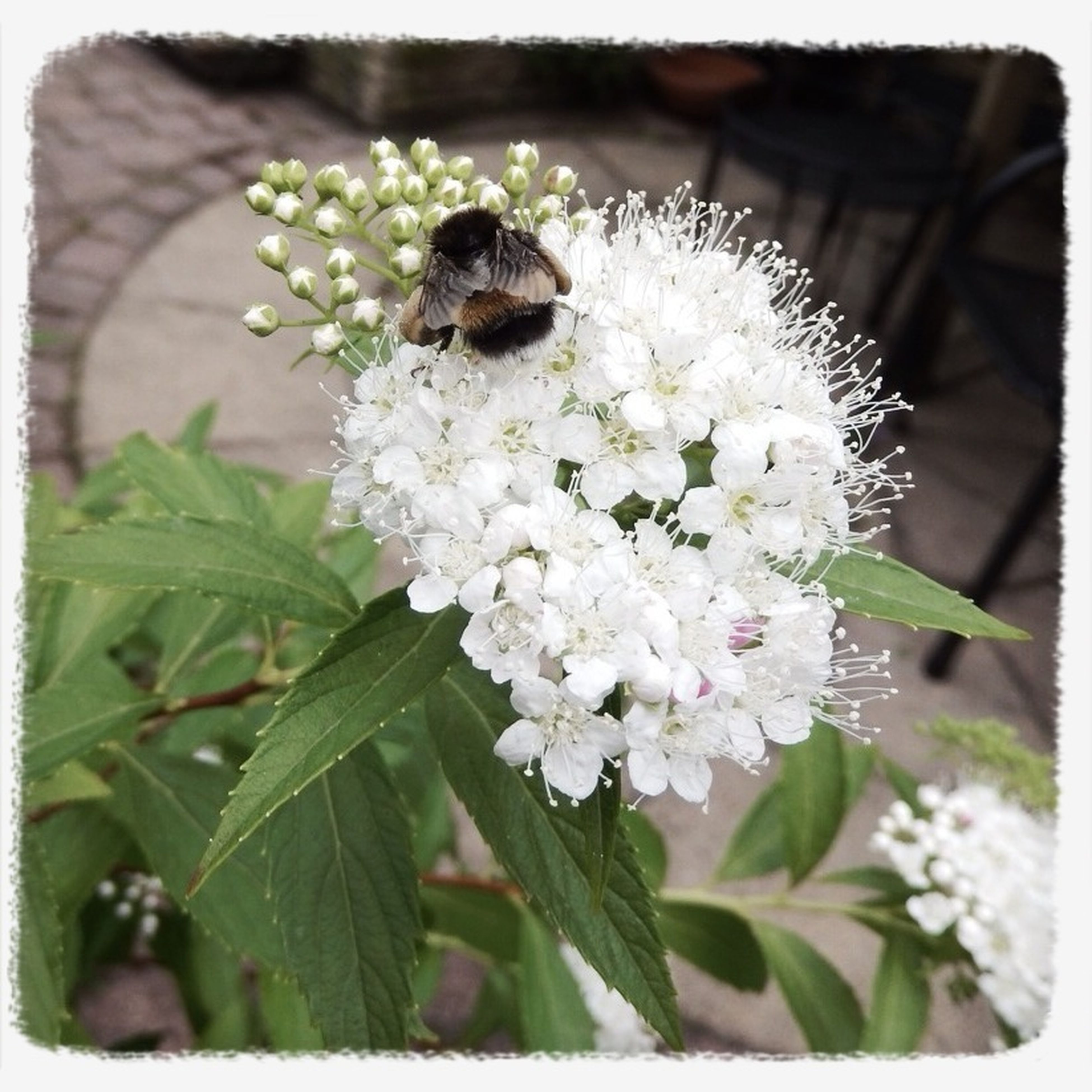 flower, insect, animal themes, one animal, wildlife, animals in the wild, freshness, fragility, growth, white color, close-up, transfer print, beauty in nature, petal, nature, flower head, focus on foreground, bee, pollination, auto post production filter