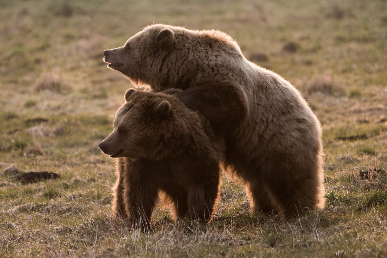 animal themes, bear, mammal, animals in the wild, two animals, field, nature, no people, animal wildlife, grass, day, outdoors, young animal, togetherness