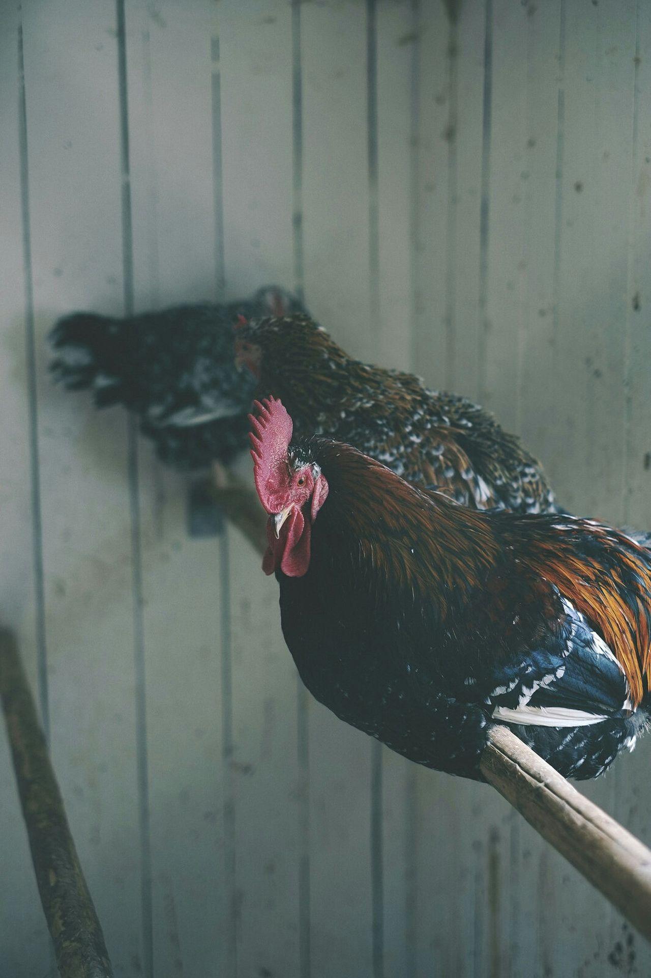 Beautiful stock photos of farm, Animal Pen, Animal Themes, Bamboo - Material, Bird