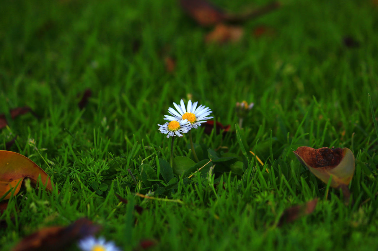 CLOSE-UP OF DAISY FLOWERS BLOOMING IN FIELD
