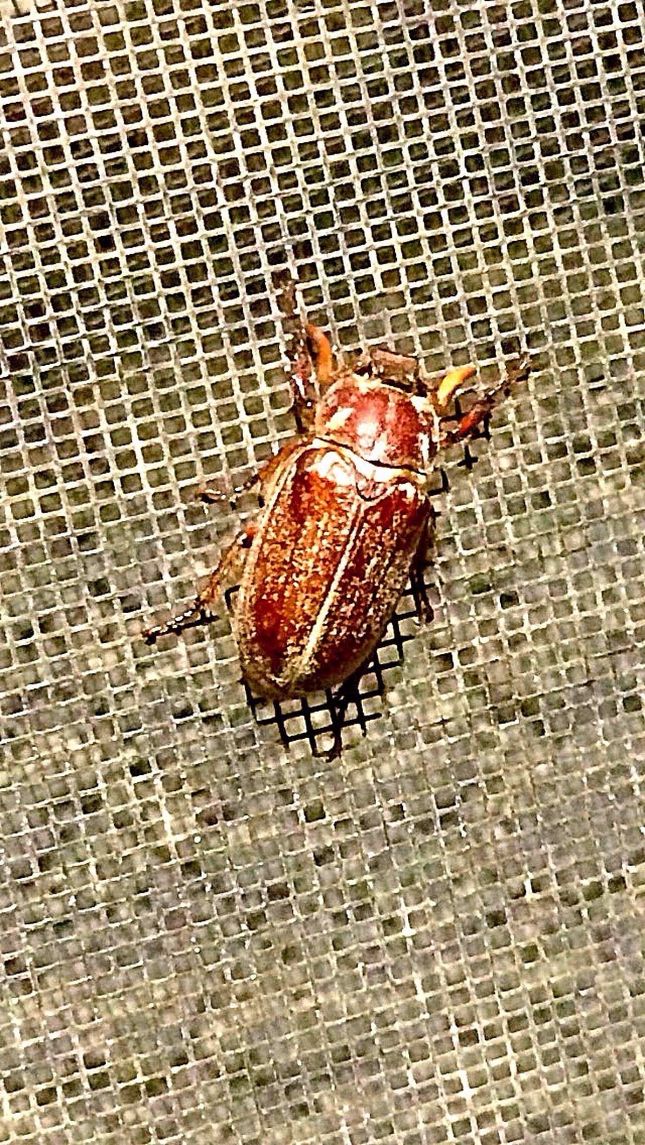 You know it's June When The June Bug/June Beetles Hit Town. Saw this one last night at work. Use to love to make these squeak when I was a kid, also tied thread around them and let them fly like a kite.💫 Insect June Bug Beetle Nature