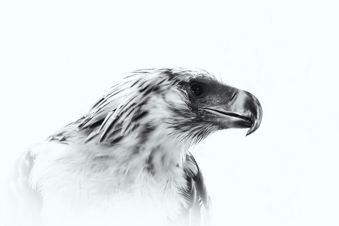 """Now a new look in my eyes my spirit rise Forget the past Present tense works and lasts"" https://youtu.be/KJ0bG_7L3Sw Smart Simplicity Connected With Nature What Makes You Strong? Eagle Philippine Eagle Birds Bird Photography Minimalism Black And White Monochrome_Monday"