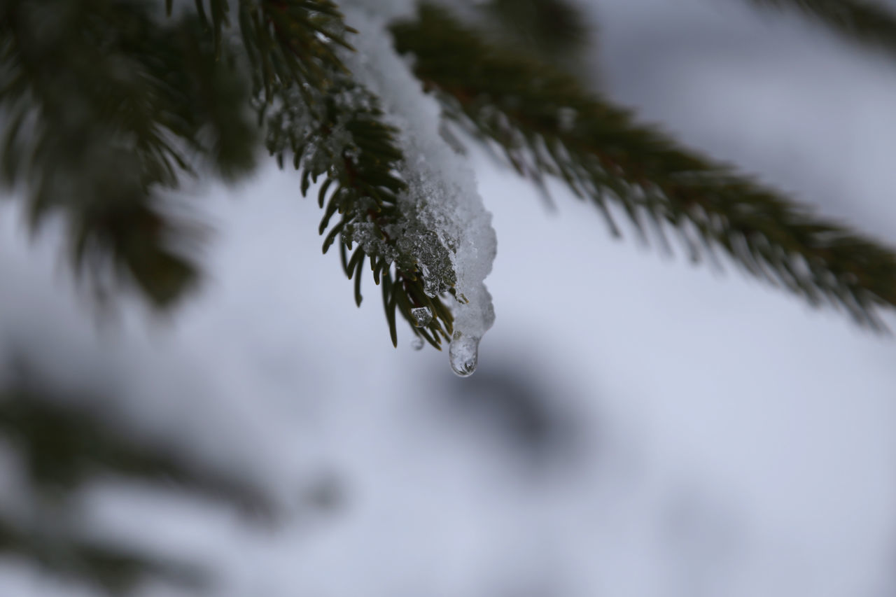 weather, cold temperature, winter, drop, water, nature, ice, outdoors, frozen, selective focus, icicle, day, no people, tree, beauty in nature, close-up, snow, branch, fragility, dripping, freshness