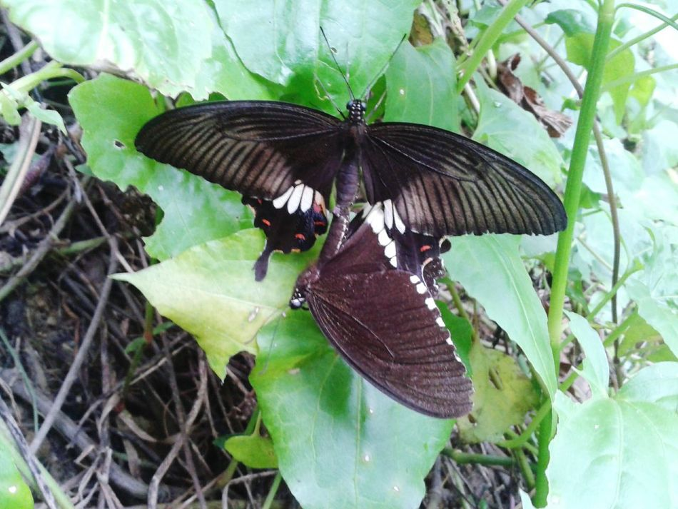 capture it 2 days ago in jungle, and now i believe in Love... they are true lovers.. they are flying, suddenly ones fall down & another one catch him/her, i touch the down one but its can't move cause its dead.. another one slowly moves him/her wings but can't leave his/her partner/friend.. ones can't accept another ones death...
