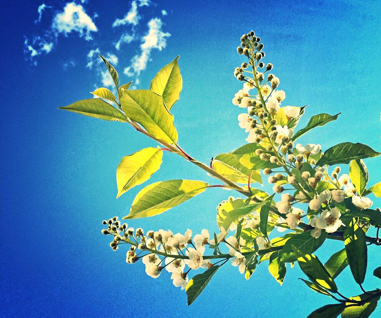 A bird cherry tree in bloom. Lovely ? Bird Cherry Tree Häggträd Blooming Tree Beautiful Day
