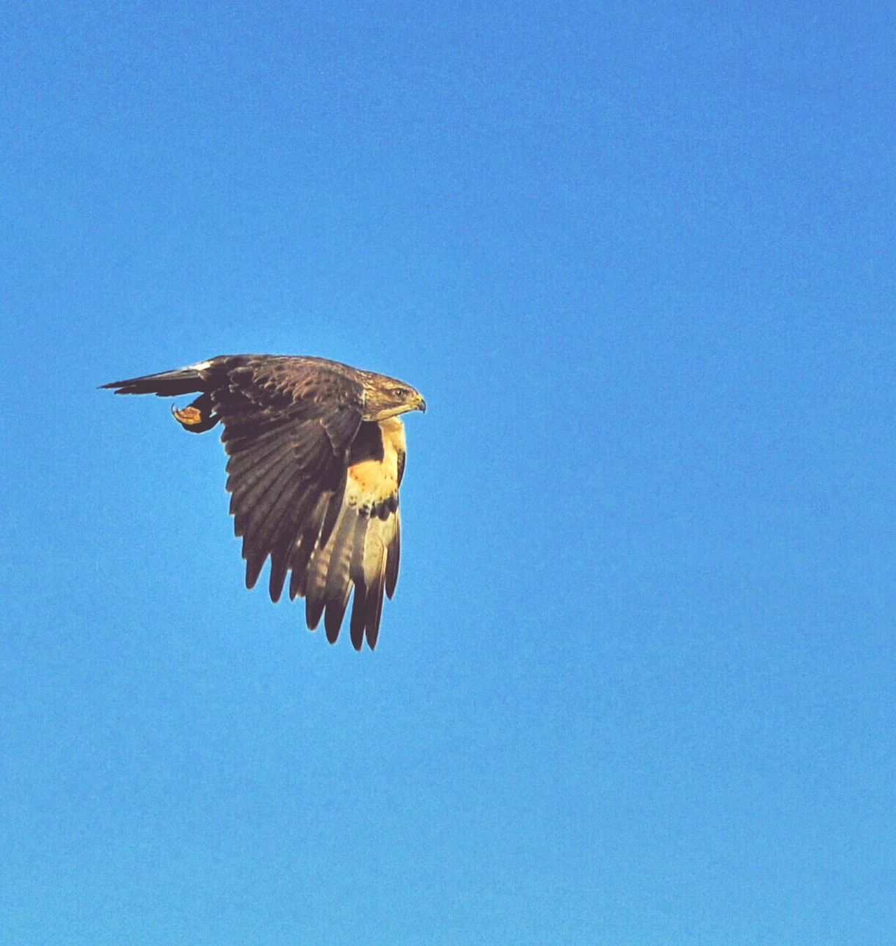 One Animal Bird Animal Themes Blue Wildlife Animals In The Wild Clear Sky Copy Space Low Angle View Flying Nature Day No People Beauty In Nature Hawker Centre Nikon_photography Nikon Animals In The Wild Nikon Photography Nikonphotographers Predatory Birds