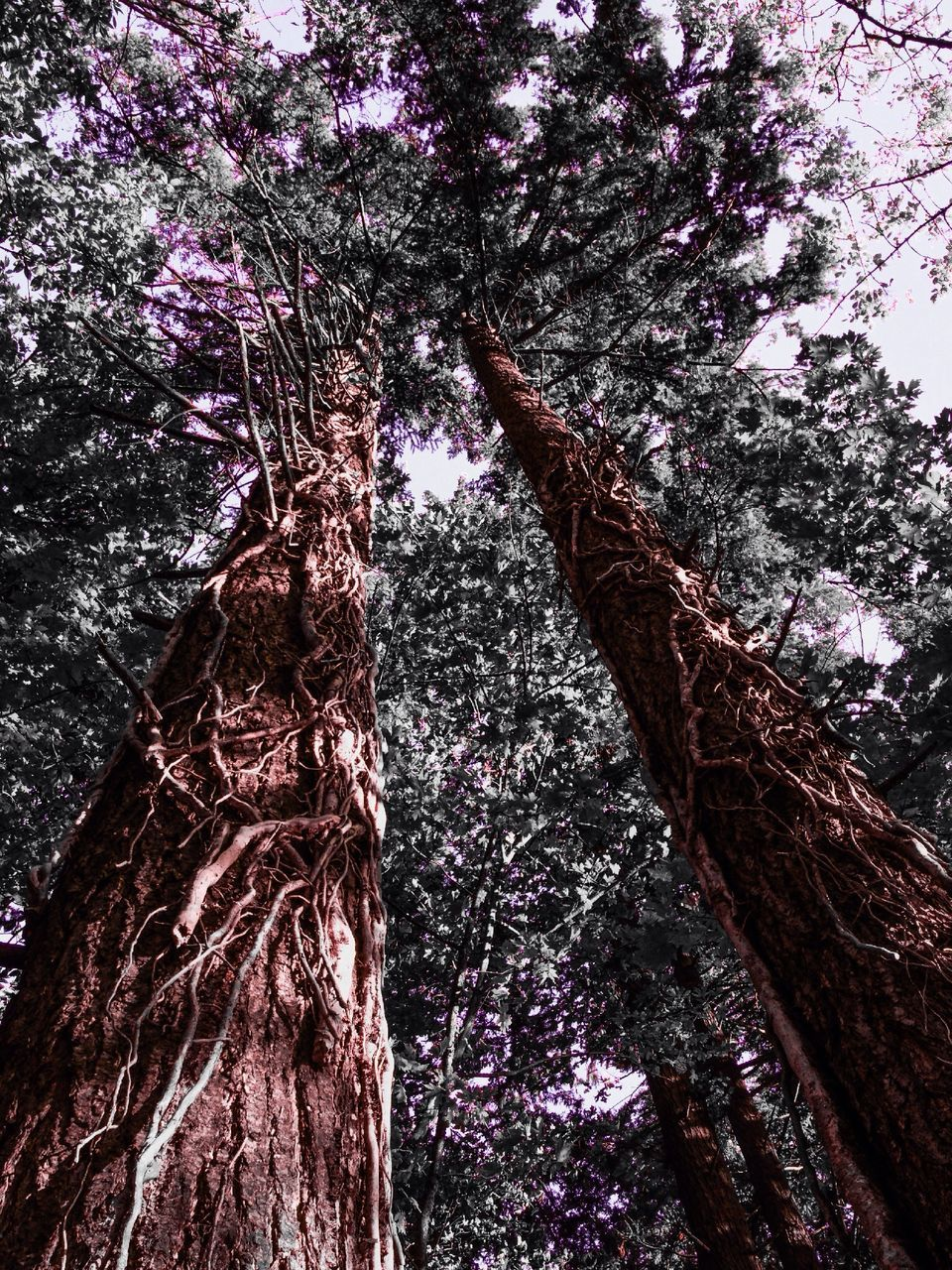 tree, tree trunk, low angle view, growth, nature, branch, bark, beauty in nature, day, no people, outdoors, tree canopy, forest, climbing, flower, sky, close-up