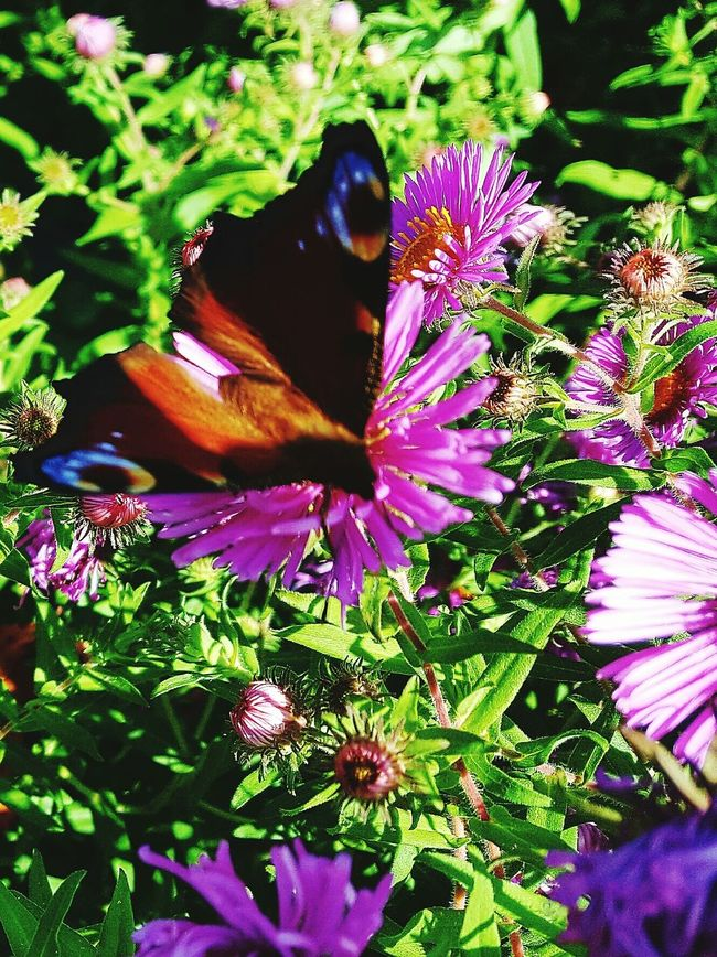 EyeEm Flower Eye Em Nature Lover EyeEm Best Shots - Nature Eyeem Garden Flower Fragility Freshness Plant Beauty In Nature Purple Growth Petal Insect Close-up Butterfly Nature Flower Head Springtime Animal Themes In Bloom Blossom Green Color Pollination Vibrant Color EyeEm Around The World