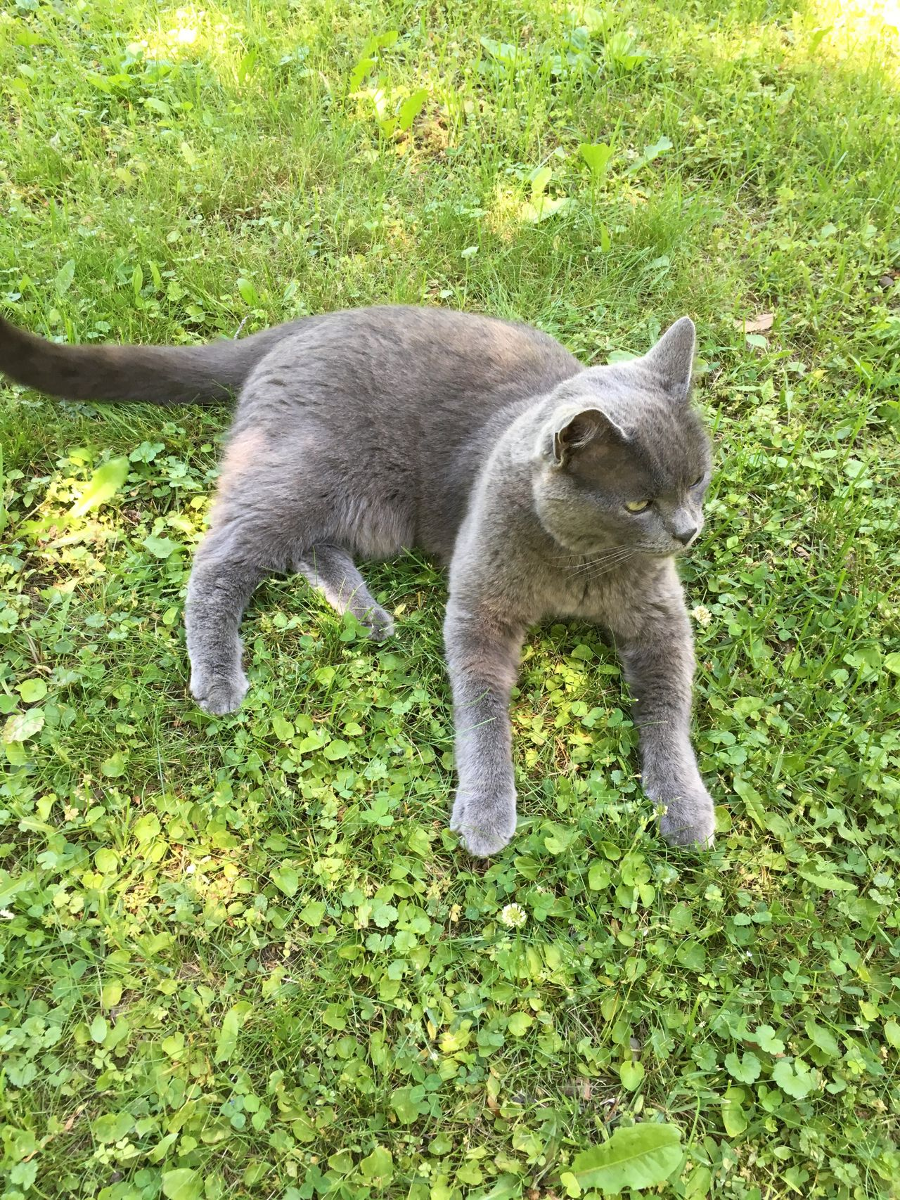 Life of the Party . Hello World Taking Photos Meow RussianBlue Grey Smokey Lawn King Summer ☀ Cat Enjoying Life Relaxing